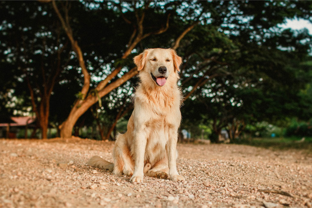 Ready To Adopt? Here's Our Recommended Beginner Dog Breeds In Singapore