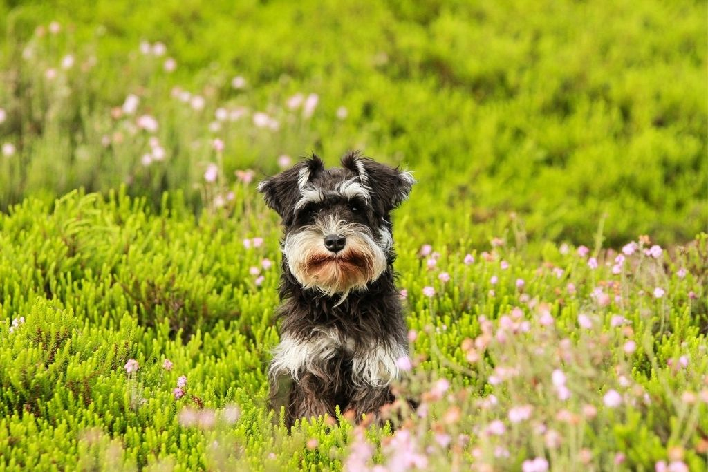 HDB Approved Dog Breeds In Singapore