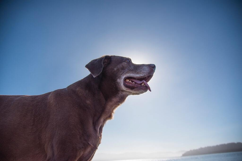 All About Dementia in Dogs