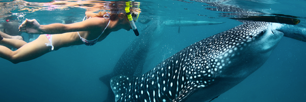 Swim with Whale Sharks for the Ultimate Bucket List