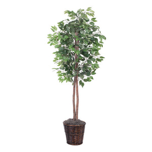 Variegated Ficus Tree in Basket