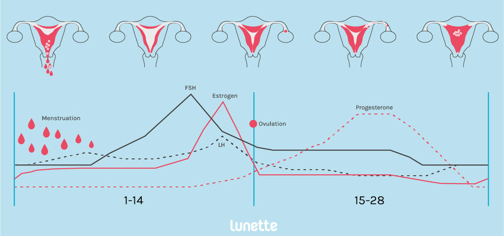 menstrual cycle in pictogram