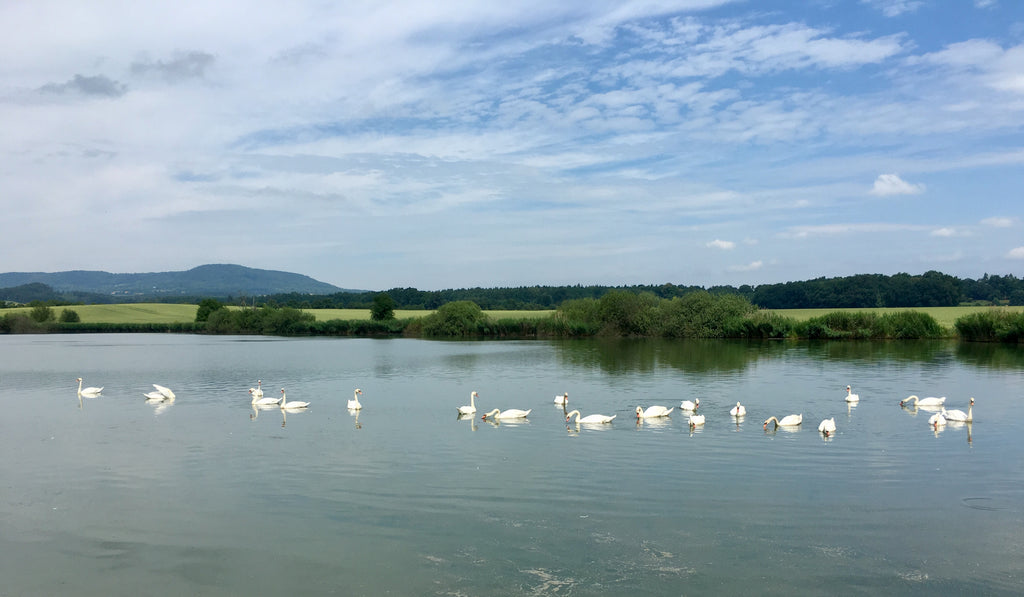 Czechia swans in a lake