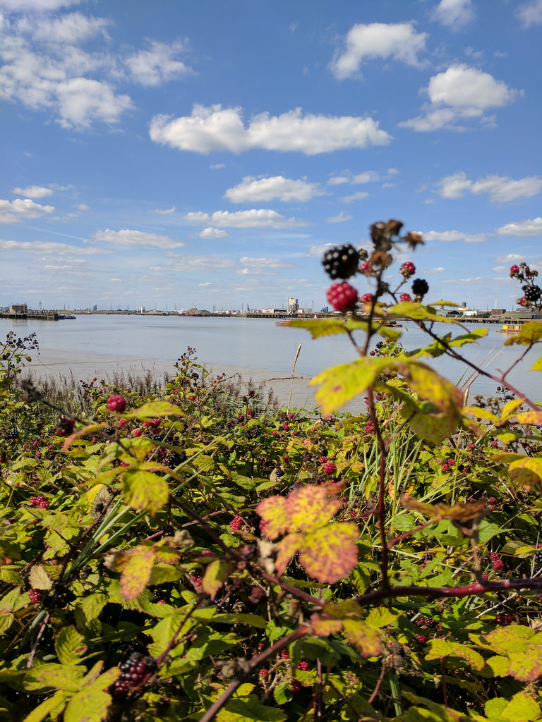 Woolwich to Erith blackberries