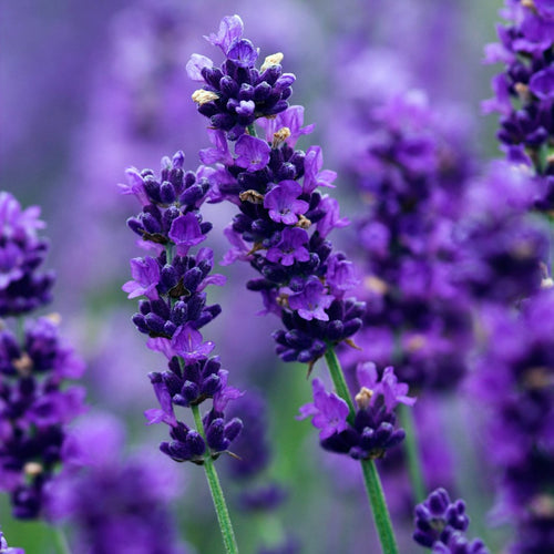 Lavender - 10 mL Essential Oil