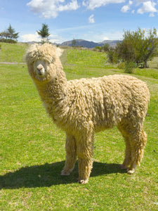 The Growing Popularity of Alpaca