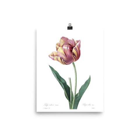 Vintage Botanical Cultivated Tulip Print