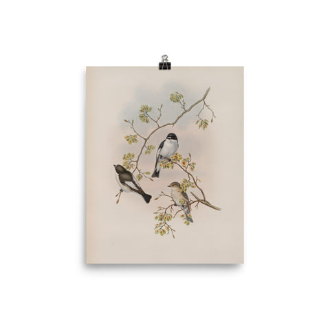 Song Birds Vintage Ornithological Illustration