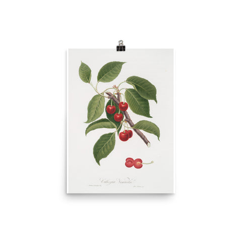 Vintage Red Cherries Botanical Print