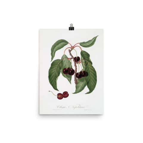 Vintage Dark Cherry Botanical Print