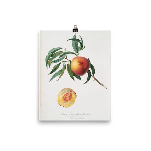"Vintage ""The Peach"" 4 Botanical Print"