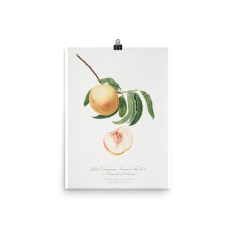 "Vintage ""The Peach"" 3 Botanical Print"