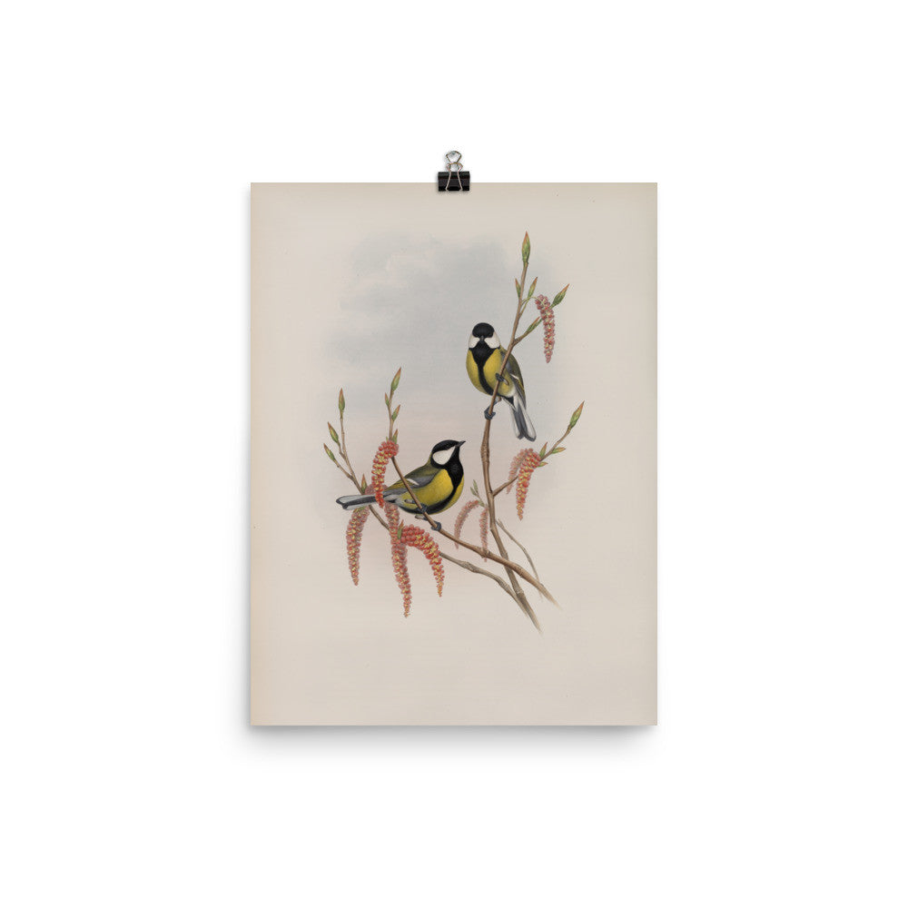 Song Birds 3 Vintage Ornithological Illustration