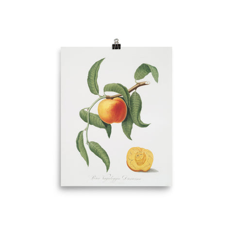 "Vintage ""The Peach"" Botanical Print"