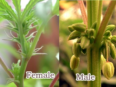 Male, Female or Hermaphrodite ?