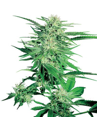 Big Bud AUTO Feminised