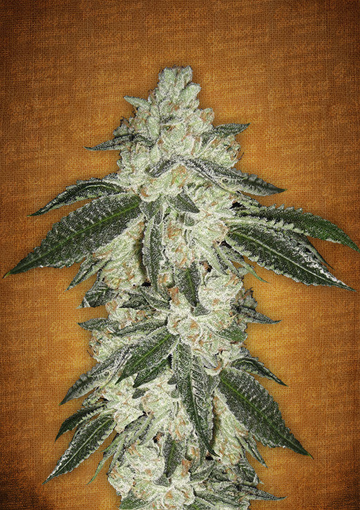 Green Crack AUTO Feminised