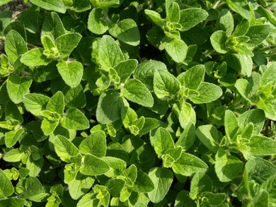 Oregano Organic Essential Oil