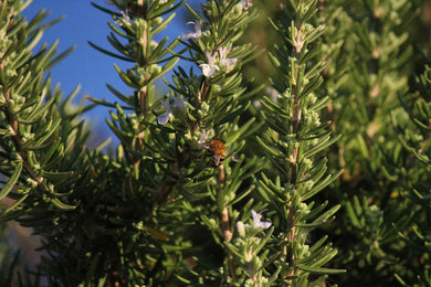 Rosemary Organic Essential Oil