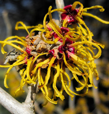 Witch Hazel Distillate Organic Raw Material