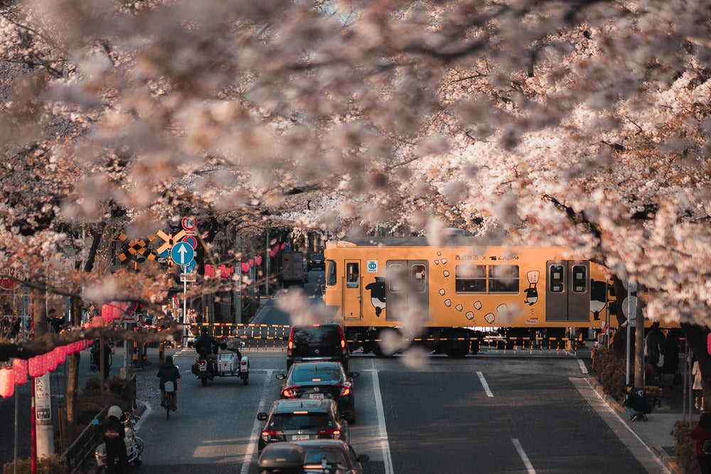 Cherry blossom - When is the best time to visit Japan - Pat Kay Blog