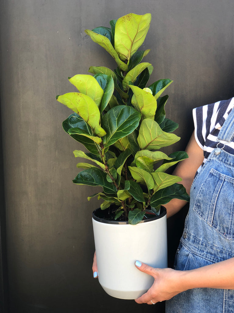 Why you need a Fiddle Leaf in your life?