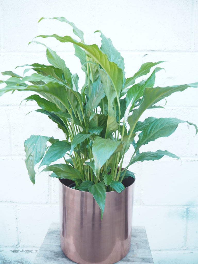 4 reasons why Peace Lilies are one of our favourites…
