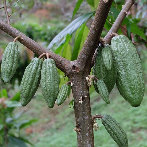 """Thailand Chocolate Journey Part 3"" - Growing Cacao Tree"
