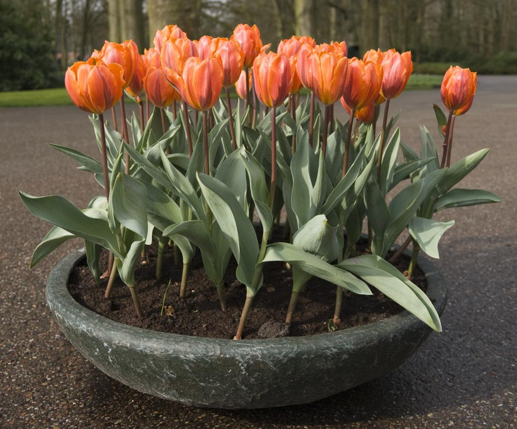 How To Care For Tulips In A Pot Outside And Their Aftercare