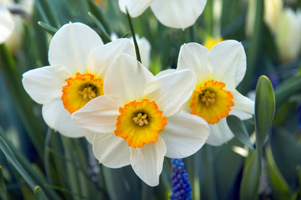 When to Plant Daffodil Bulbs?