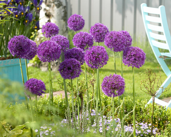 Alliums: Glorious Globes Providing Constant Color