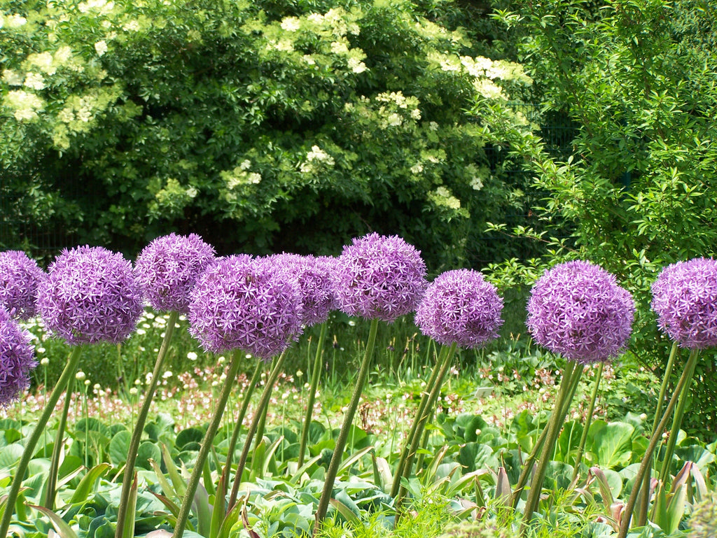 When To Plant Allium Bulbs