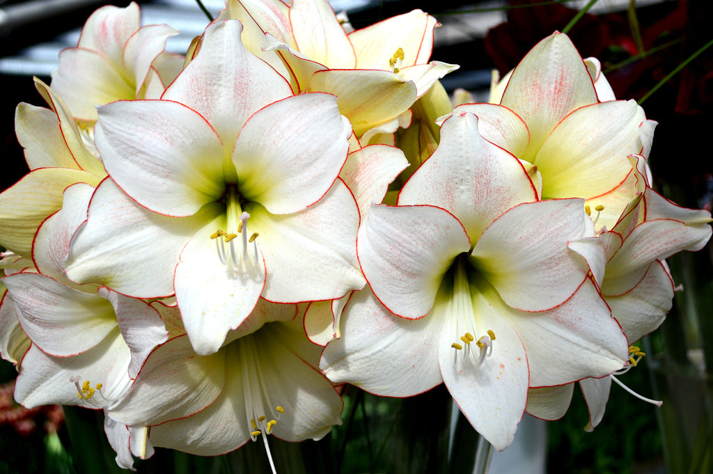 Jumbo Amaryllis bulb varieties for indoors and outdoors