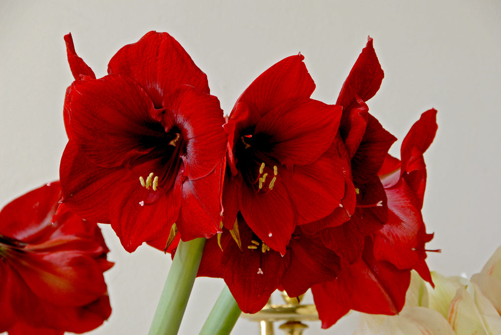How to Water Amaryllis for Magnificent Blooms?