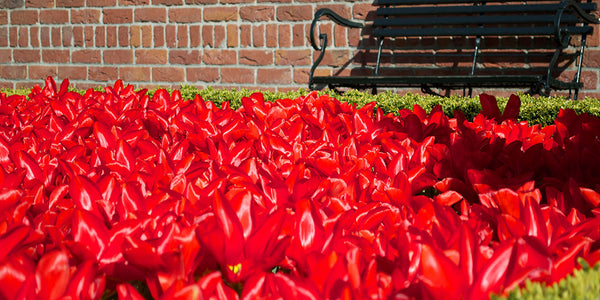 Red – A passionate color for a vibrant garden