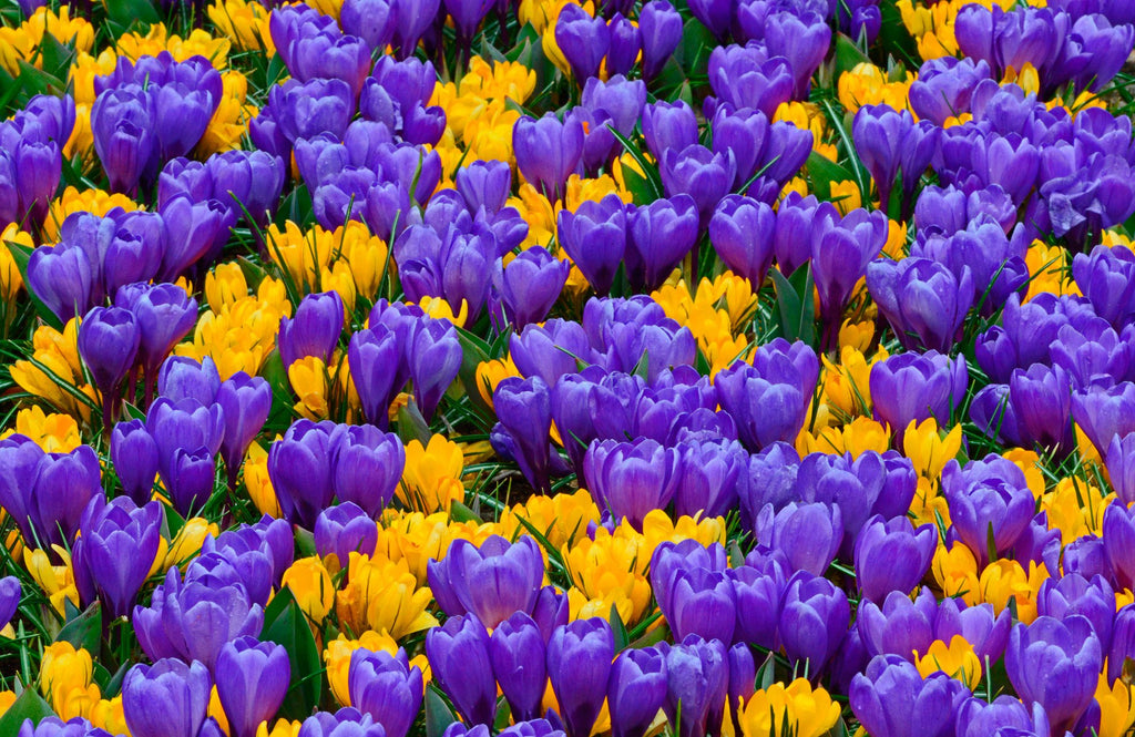 Crocus Lower Classifications