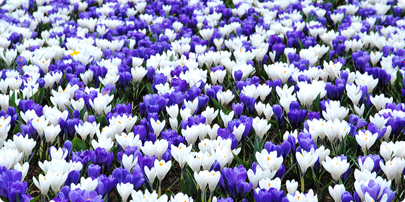 Crocus, spring's first bright color
