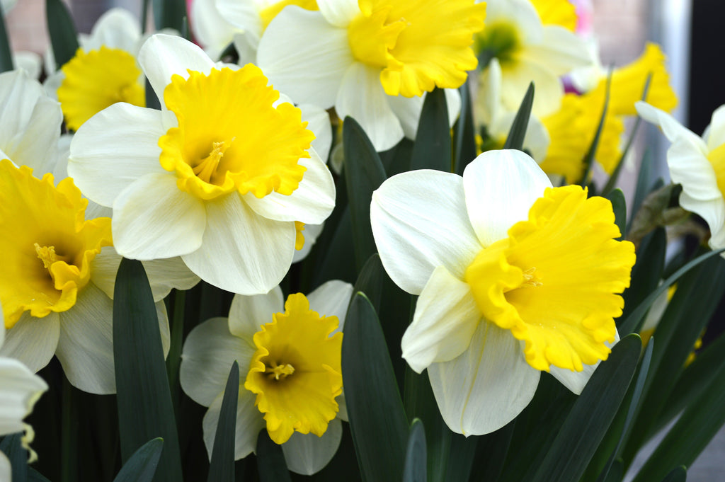 What to Do After Tulips and Daffodils Are Finished Flowering in the Spring