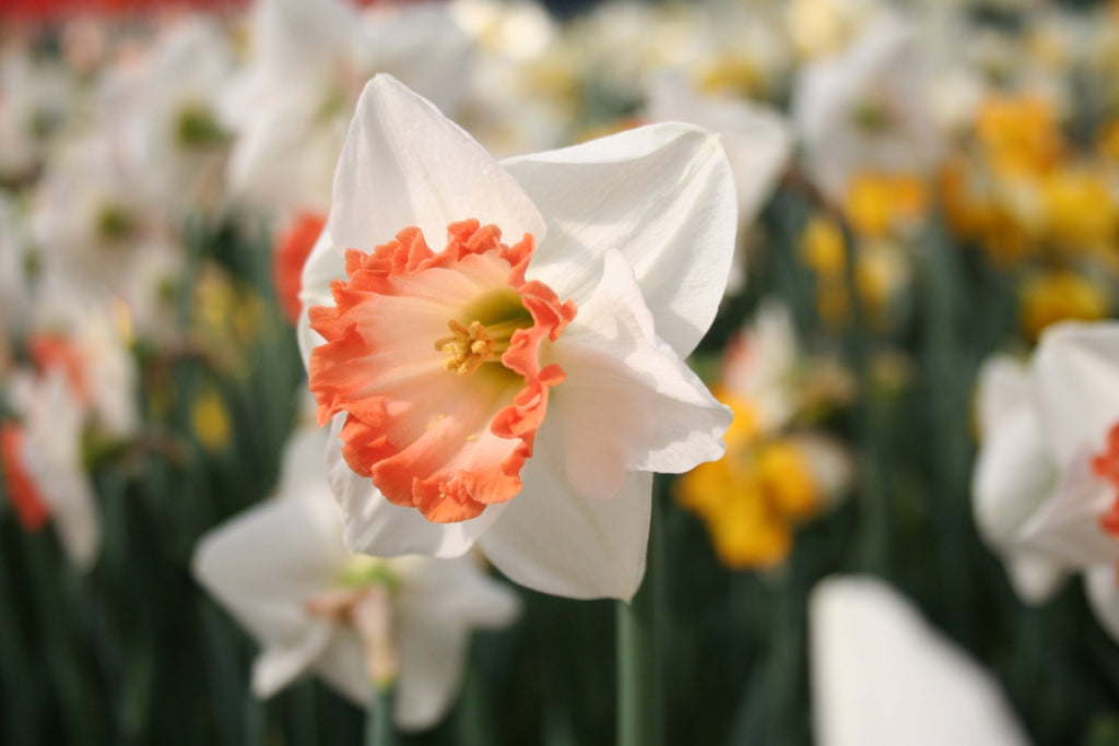 What Types of Daffodils Are There?
