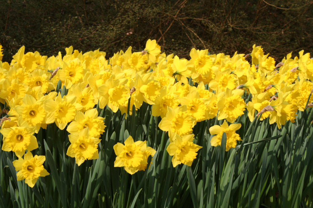How to Plant Daffodil Bulbs?