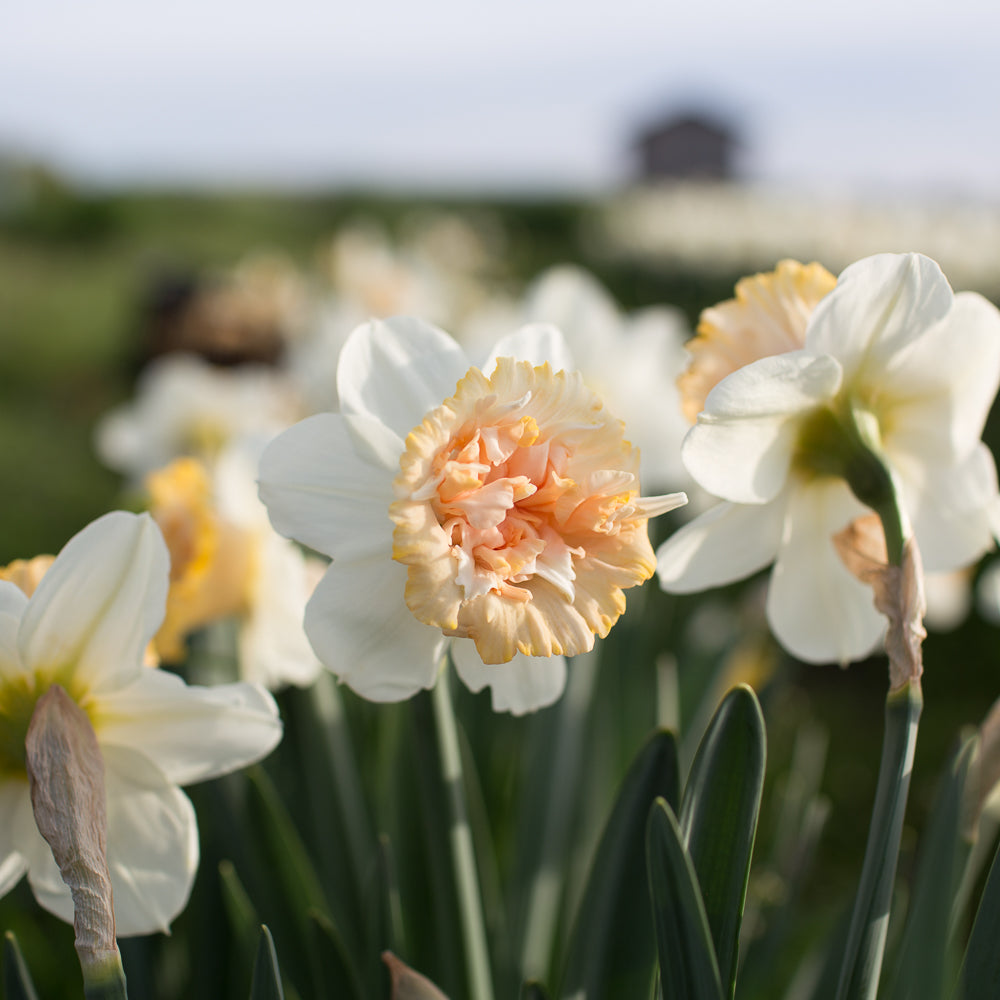 How Deep Do You Plant Daffodil Bulbs?