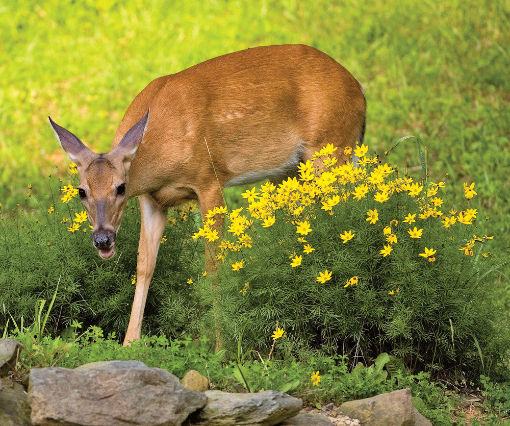Deer and Rodent Resistant Flower Bulbs