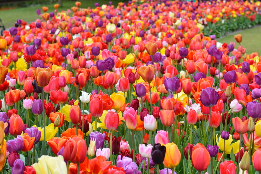 When to Plant Tulips and Daffodils?
