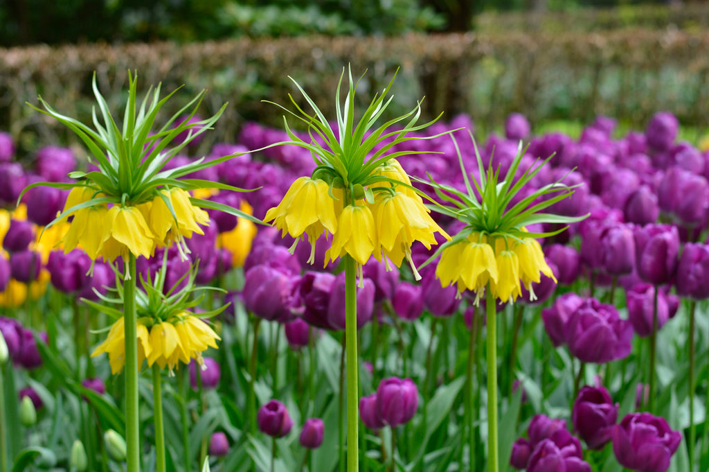 Fritillaria for a Refreshingly Different Spring
