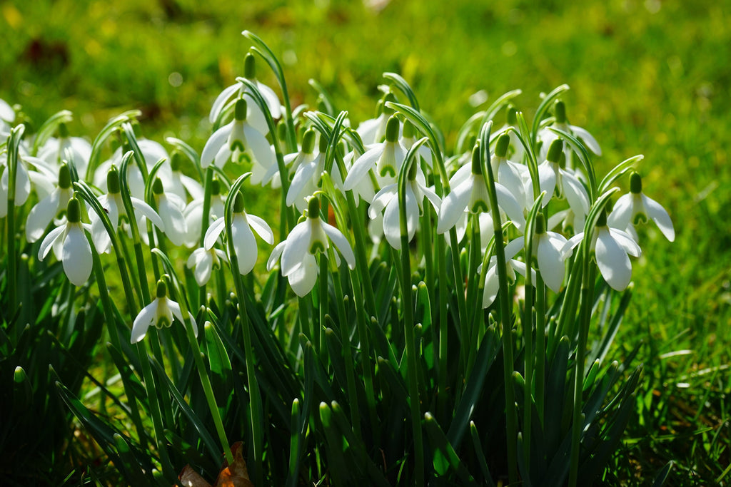 Super Size Snowdrops for Spring's First Sparkle