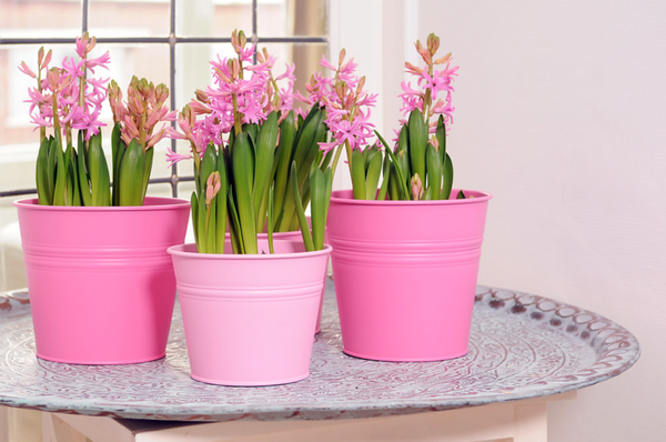 Growing Flower Bulbs in Pots and Containers