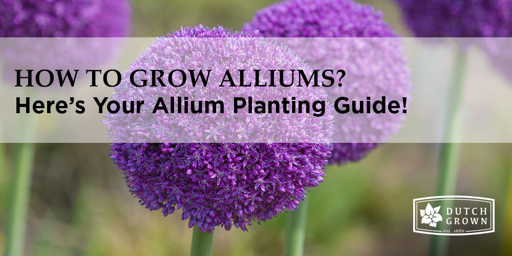 How to Grow Alliums?