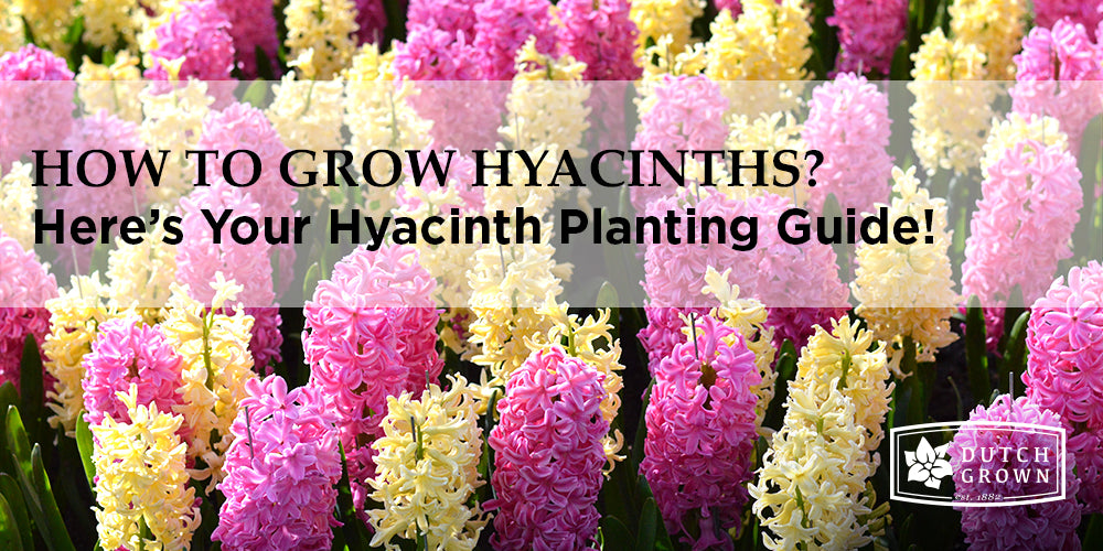 How to Grow Hyacinths?