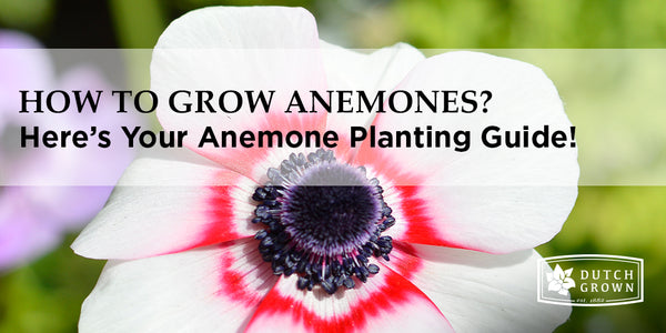 How to Grow Anemones?