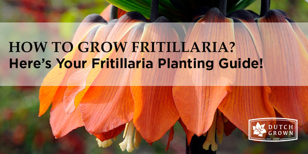 How to Grow Fritillaria?